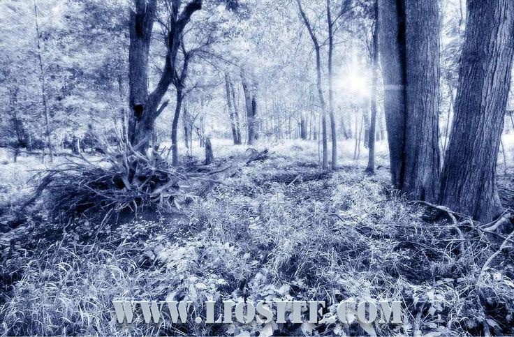 """Letta da Lorenzo Pieri una poesia di Mario Luzi: """"Oscillano le fronde"""".  Oscillano le fronde, il cielo invoca la luna. Un desiderio vivo spira dall'ombra costellata, l'aria giuoca sul prato. Quale presenza s'aggira? Un respiro sensibile fra gli alberi è passato, una vaga essenza esplosa volge intorno ai capelli carezzevole, nel portico una musica riposa.[...]  #marioluzi, #poesia, #poesiarecitata, #poesiaitaliana, #audiopoesia, #liosite,"""