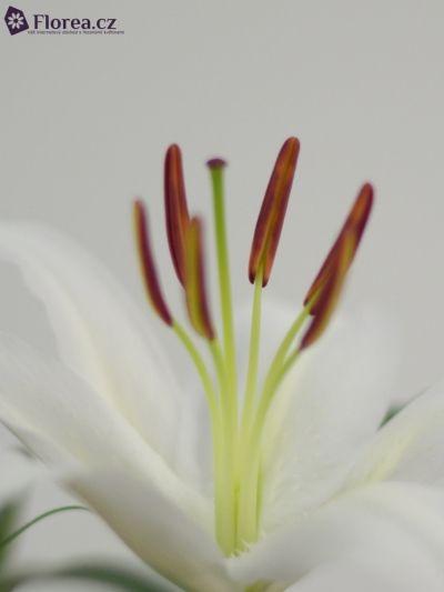 LILIUM OR HELVETIA http://www.florea.cz/lilium-1 #lilium #flowers