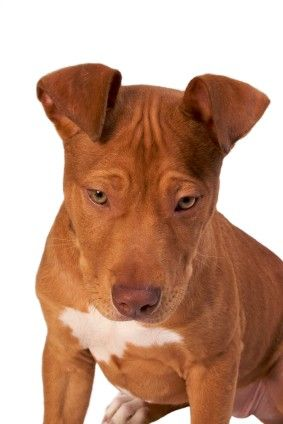 """Red Nose Pitbulls...how could you NOT love them?? adorable & are good, loyal, loving pets IF you train them to be..sadly some train/treat them to be """"bad""""..giving them a bad rap!"""