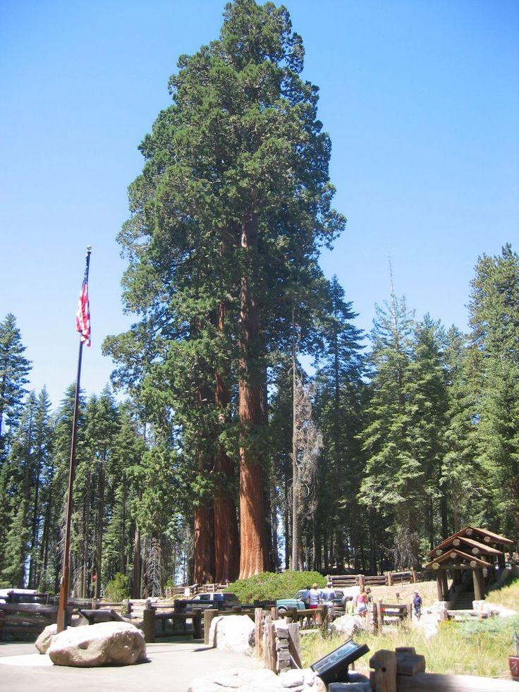 25+ best ideas about Sequoia sempervirens on Pinterest | Redwood ...