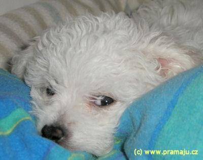 Amy 10/2010d - Bichon Bolognese / Boloňský psík