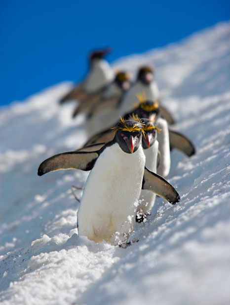 Macaroni penguins - ©Andy Rouse/ Rex Features (via The Telegraph)--cue the music!
