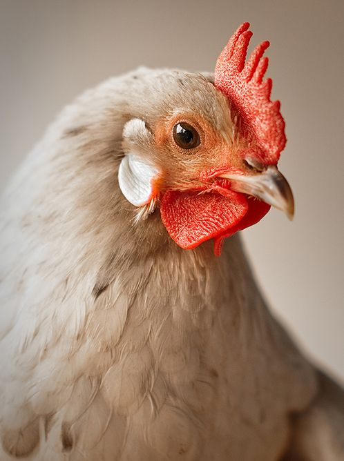 oh my goodness - this is a pretty hen! I've got to do some research and see what she is. Does anyone know? She'll be a white egg layer. (white earlobes= white eggs)