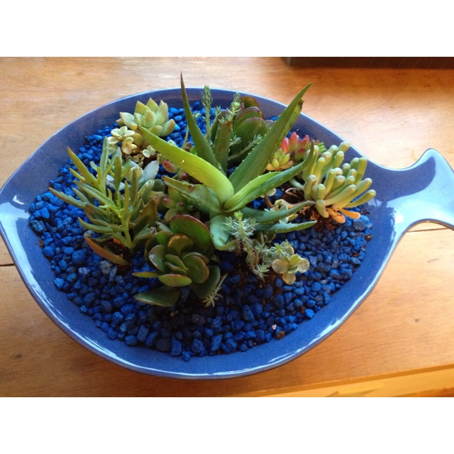 Succulent garden I planted using a fish shaped shallow bowl and fish tank rocks as decorations