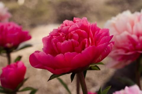 Lorelei peony now available in our 2017 peony plant catalog. Reserve early for fall planting.