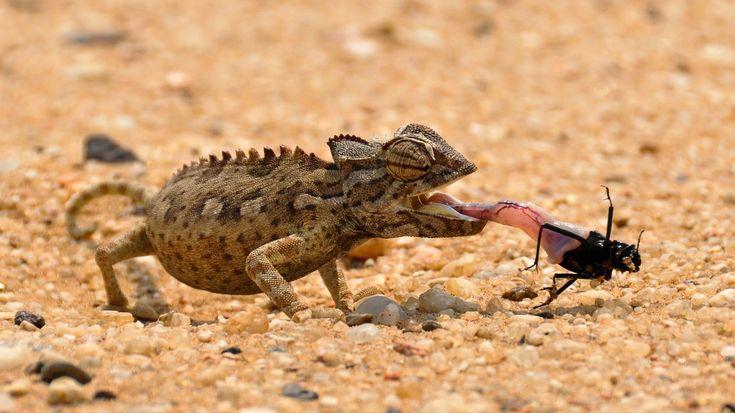 Chameleon Diet - What Do Chameleons Eat? - Chameleon Facts