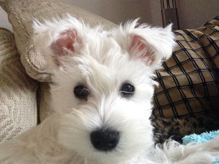 I am Dorothy, a white miniature schnauzer puppy and my mum is helping me create a diary. A legacy for my future puppies :) Link: https://www.sunfrog.com/search/?64708&search=schnauzer&cID=62&schTrmFilter=sales