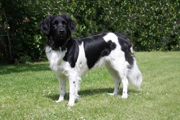 Фото породы стабихун Нидерландский, подружейной охотничьей собаки.