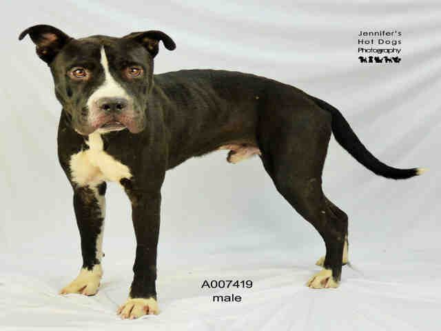 EU DATE WED., 10/17/16- SUPER URGENT -This DOG - ID#A007419  I am a neutered male, black and white Staffordshire Bull Terrier mix.  The shelter staff think I am about 3 years old.  I have been in shelter care since Jun 13, 2016.  This information was refreshed 6 minutes ago and may not represent all of the animals at the Fort Bend County Animal Services Shelter.