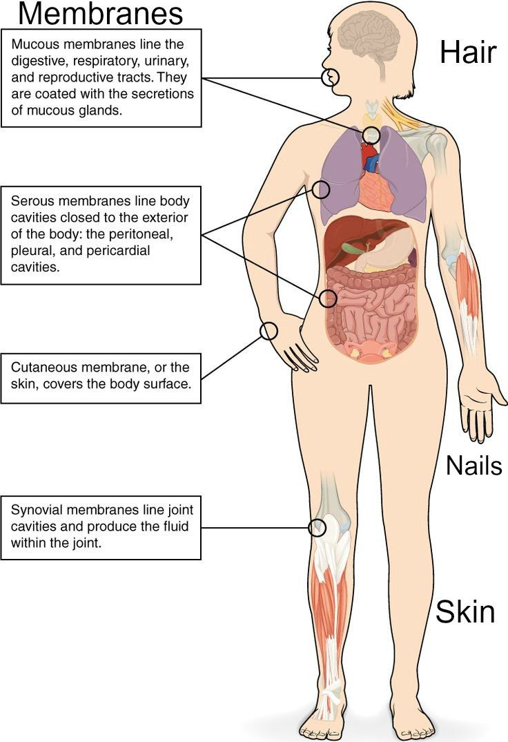 integumentary system consists of the skin, hair, nails, and ...