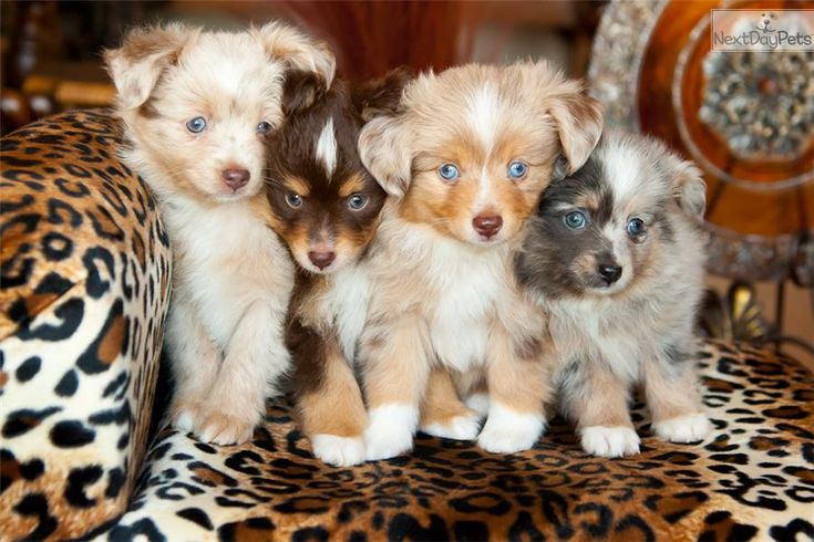 You'll love this Male Miniature Australian Shepherd puppy looking for a new home.
