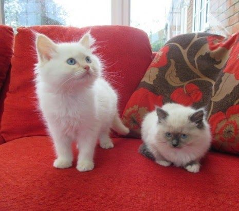 Himalayan cat for sale kuwait