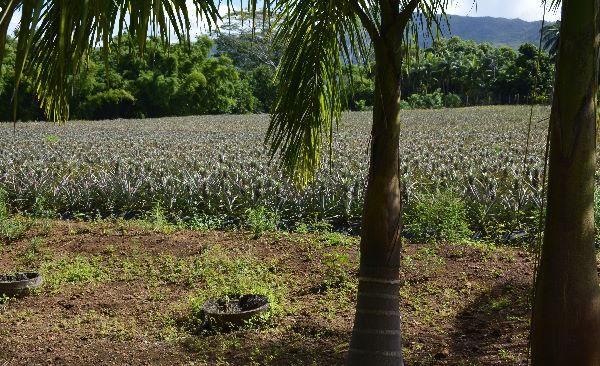 champ d'ananas Victoria