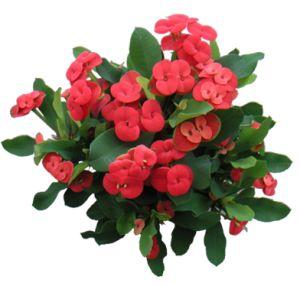 Euphorbia, Consigli Manutenzione e Cura
