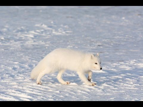 Amazing Facts About The Arctic Fox