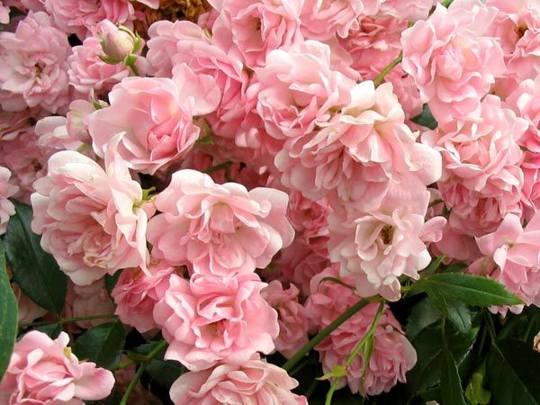 "Polyantha Rose - Literally ""many-flowered"" roses, from the Greek ""poly"" (many) and ""anthos"" (flower). They feature small flowers, 1 inch, carried in large sprays in white, pink and red. This example is 'The Fairy'"
