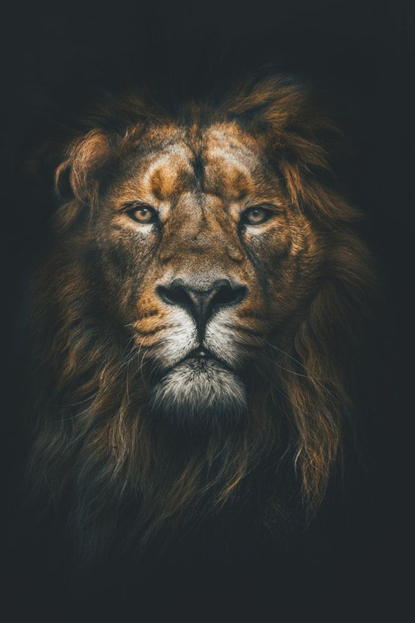 Lion Ii Wall Mural With Images Lion Wallpaper Lion Art Lion