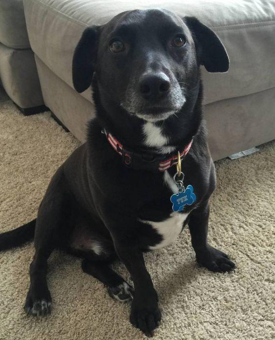 Dachsador (Dachshund + Labrador Retriever) Dachshund mix