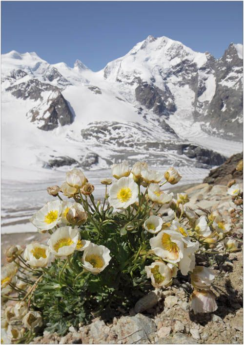 Alpine crowfoot Richard Revels Photography - The SWISS ALPS.