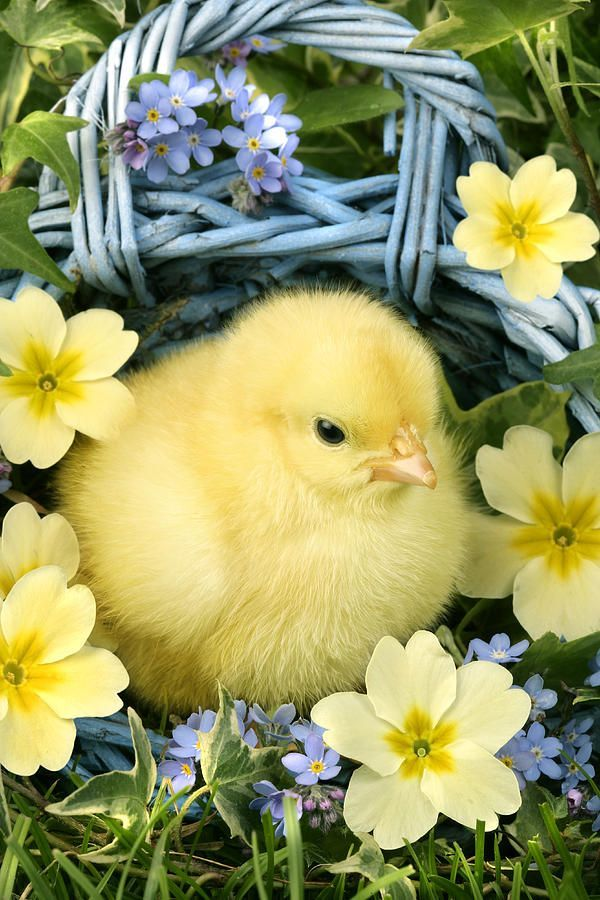 Easter Chick In Basket Photograph