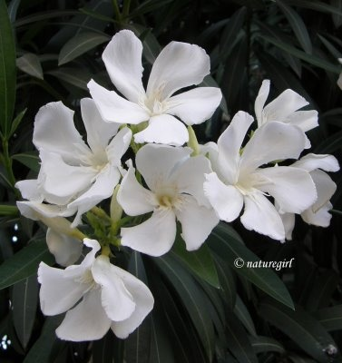 Oleander #pavelife #garden #flowers I guarantee the deer will not eat. I have 15 to 16 deer in my front yard every day. They do not touch my oleander, Japanese boxwood, privet bush, or century plant. Everything else they eat or pull out of the ground.  I 100 percent guarantee oleander looks beautiful and no deer.