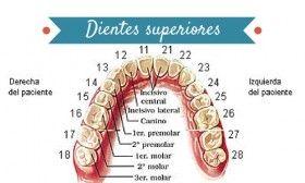 Dientes superiores Las piezas dentales tienen su propio número
