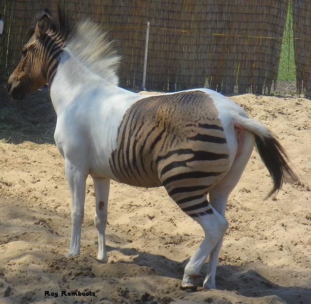 76 Best Images About Zonkeys (Zebra X Donkey) And Zorses