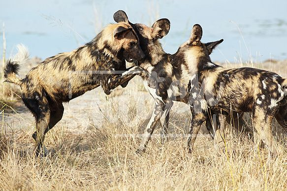 African wild dogs, Lycaon Pictus, running and playing in the african savannah. Movement on the edges, shallow Depth of Field Snatch Stock Images - Stock Photography | Vectors | Graphics | Videos