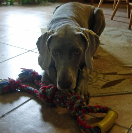 Duchess the Weimaraner
