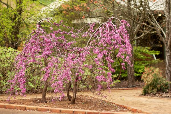 Cercis canadensis 'Lavender Twist' - A small weeping tree with slightly twisting branches and large green heart-shaped leaves in summer. Clusters of pea flowers are a soft lavender pink and cover the branches in early spring.