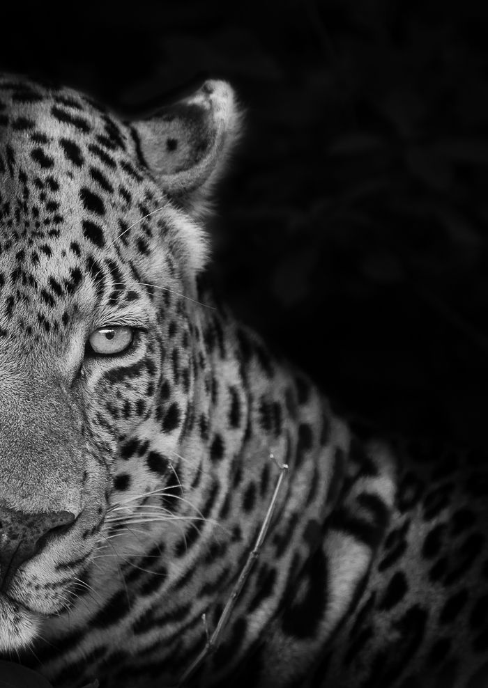 #Leopard @Londolozi  Why not come see for yourself? #Experience #Big5 #Safari in true #Luxury