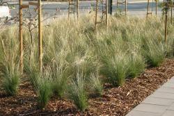 Poa labillardieri 'Eskdale' is a no fuss complement to specimen trees in the urban landscape. Plant profile http://www.bluedale.com.au/our-selection/strapy-leaf-plants/poa-labillardieri-eskdale Buy online http://www.bluedaleplantsonline.com.au/shop/Designer-Grasses/ESKDALE/12/ Visit today!