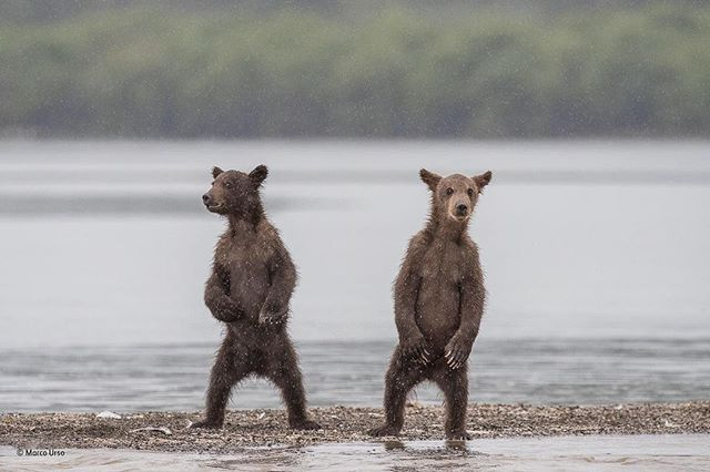 """Wildlife Photographer of the Year 2017 the photography """"Funny Brothers"""" by Marco Urso is among the winning images. In addition the photo still has the opportunity to win out of the top 25.  Feel free to vote for """"The brothers"""" at nhm.ac.uk!  (Photo by Marco Urso 