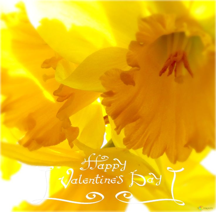 Free pictures Daffodils on white background From http://torange.biz/30915.html  #Narcissus #Desktop wallpaper #Spring #Flower #Plant #Background #Nature