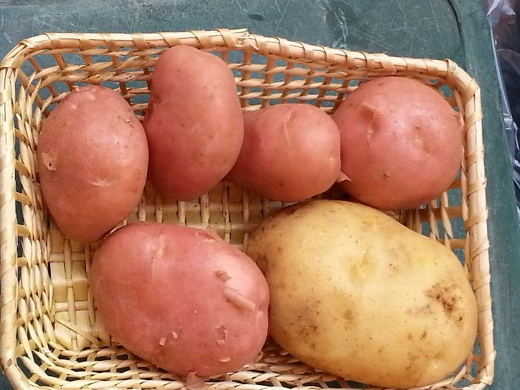 Patate rosse: di pasta più dura delle patate tradizionali, sono ottime fritte… alla tramontana: con olio, aglio e rosmarino! Red potatoes: typical production in Tramonti, very tasty if fried following a local recipe: oil, garlic and rosemary!  #tramontidamare #rural #holidayhome #amalficoast #potatoes