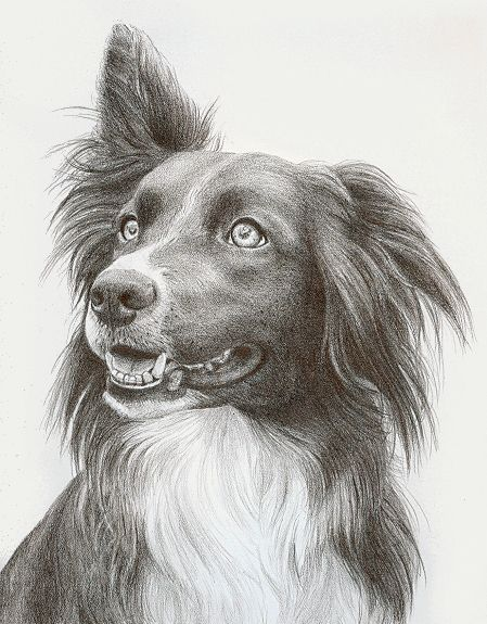 Border Collie pencil drawing                                                                                                                                                     More
