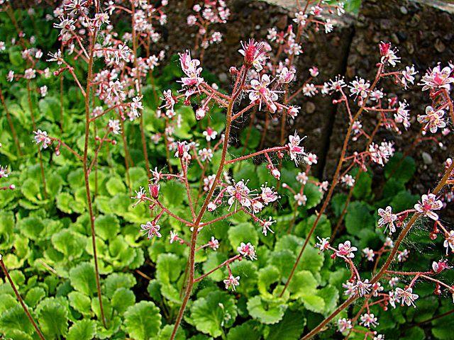 schildersverdriet winterhard, groenblijvend, bodembedekker. Saxifraga urbium