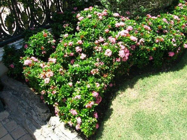 Dwarf Pink Ixora In Front Of Aster Courtyard Florida