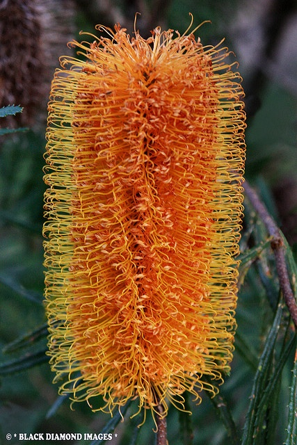 Banksia spinulosa var. collina - Hairpin Banksia - © All Rights Reserved - Black Diamond Images