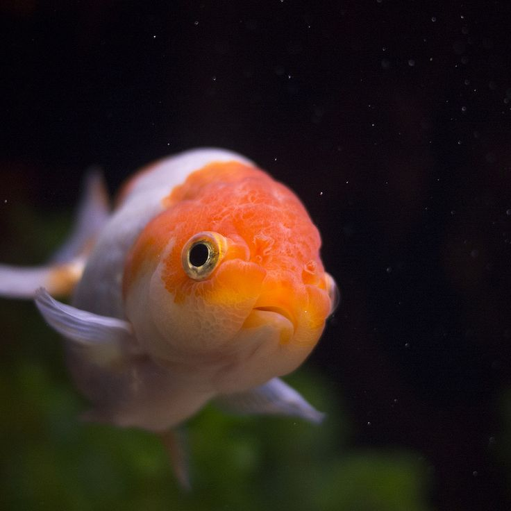 227 best images about fish i like on pinterest cichlids for Can tropical fish live with goldfish