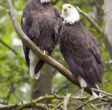 Difference Between Male & Female Bald Eagles [click photo]