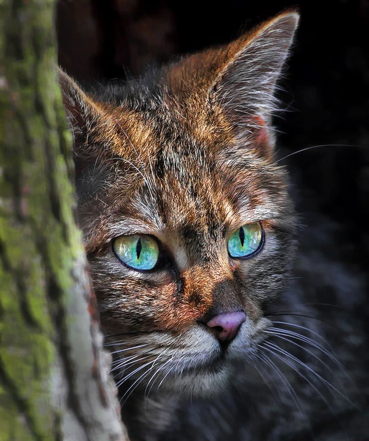 EYES...Photograph European Wildcat by Klaus Wiese on 500px: Wild Cat, Beautiful Cat, European Wildcats, Maine Coon, Blue Eye, Green Eye, Beautiful Eye, Animal, Cat Photos