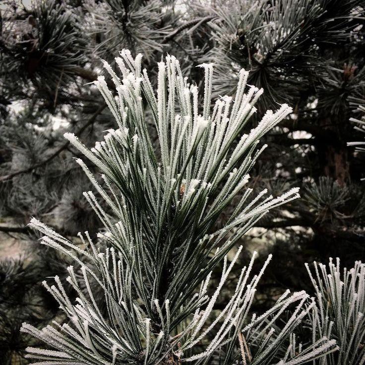 Zmrzlá štětka... #mráz #borovice