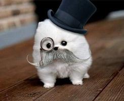 I feel like a sir.: Moustache, Cutest Dogs, Like A Sir, Teacup Pomeranians, Pet, Puppys, Animal, Tops Hats, Likeasir