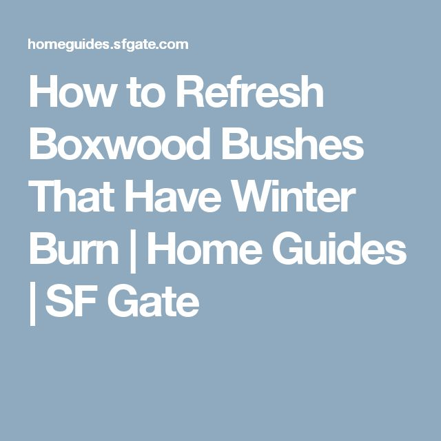 How to Refresh Boxwood Bushes That Have Winter Burn | Home Guides | SF Gate