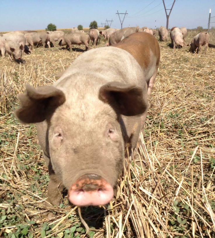 Pasture raised pig, gmo-free. #pastureraised #nonGMO #chemicalfree #antibioticfree #antibioticfree #sustainablefarming #healthypigs #pork