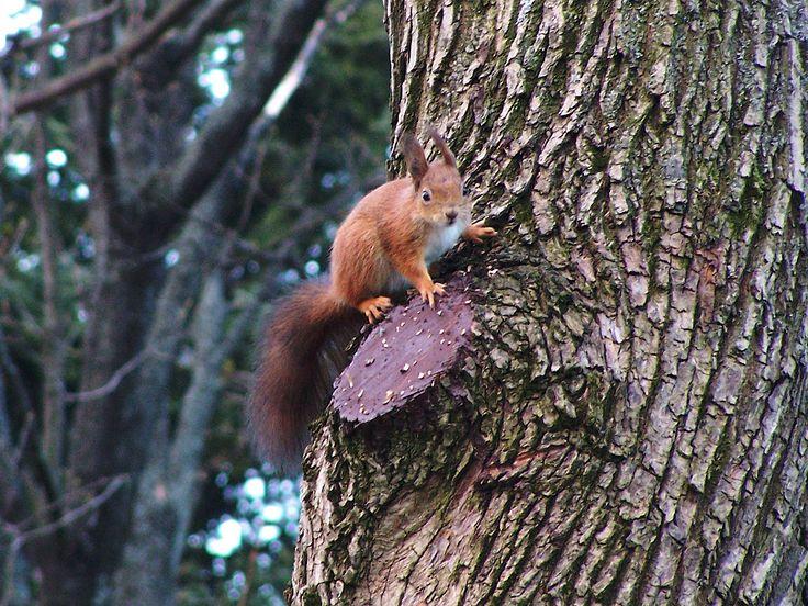 Svábhegyi mókus