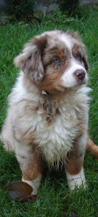 Aussie Puppy                                                                                                                                                                                 More