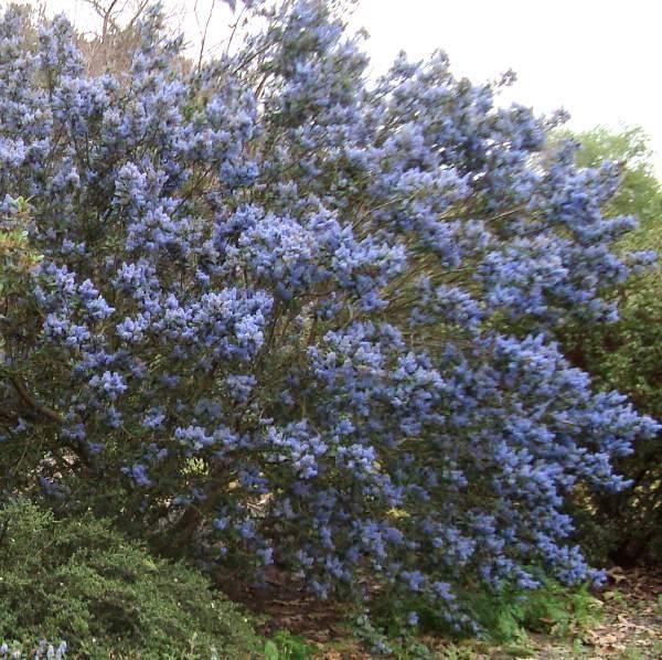 9 Best Ceanothus Images On Pinterest Bush Garden