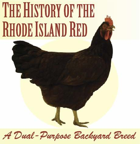 The History of the Rhode Island Red: A Dual-Purpose Backyard Breed